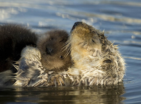 Mother sea otter and pup, Monterey Bay, California