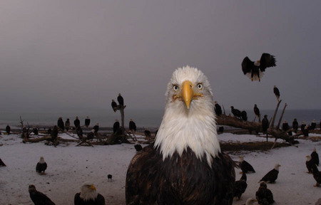 Bald eagles, Homer Alaska