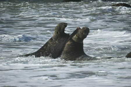 Fighting elephant seals, San Simeon, California