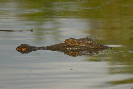 Stalking crocodile