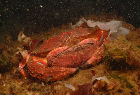 Mating Dungeness crabs