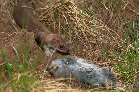Long-tailed weasel with dead mouse