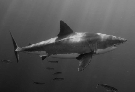 Pilar, a female great white shark I discovered off Guadalupe Island, Mexico