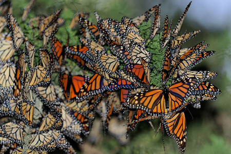 Migrating monarch butterflies, Pacific Grove, California