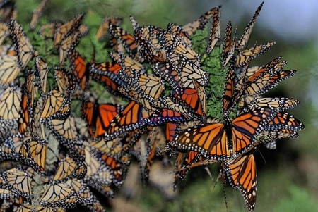 Migrating monarch butterflies, Pacific Grove
