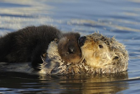 Mother sea otter and pup