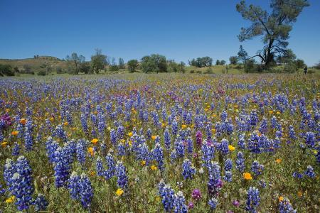 Lupines, Central Valley, California